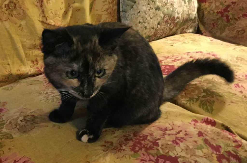 Tortoiseshell cat on couch
