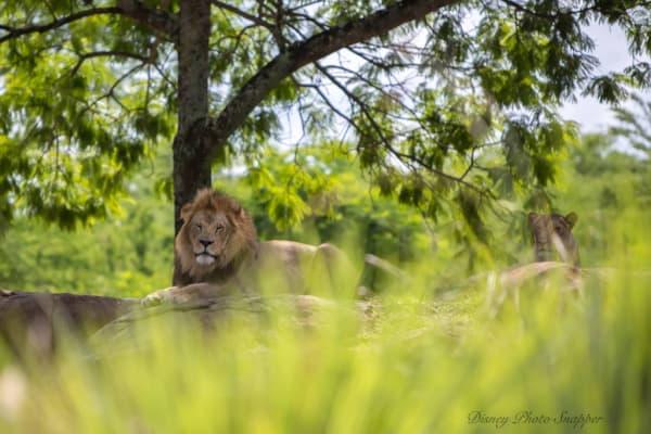 Disneys Kilimanjaro safari lion